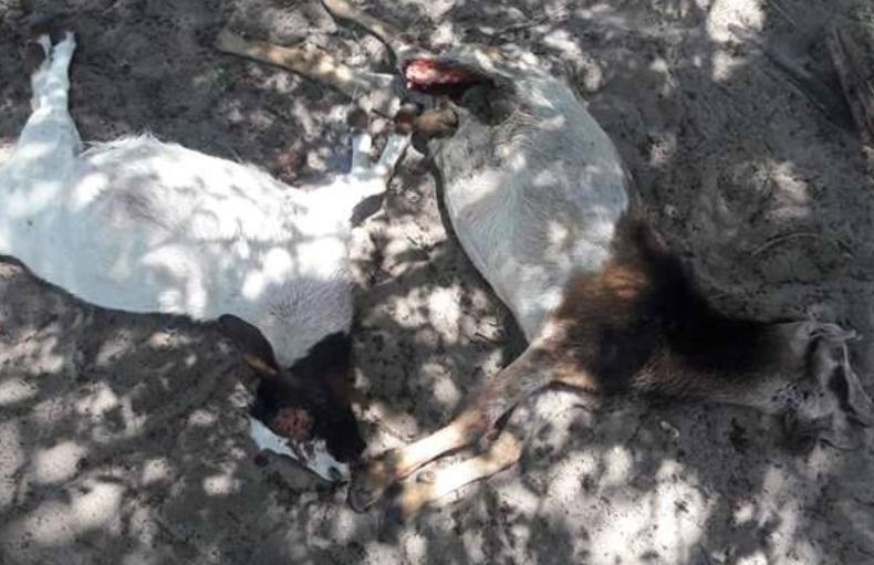 Killed goats by Chupacabra