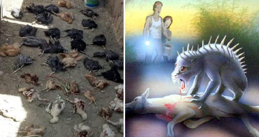 Chupacabra killed chickens