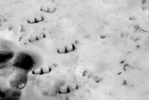 Devil footprints