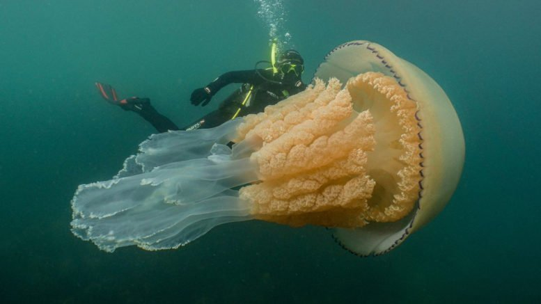 Giant jellyfish