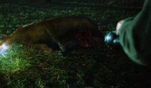 Bull mutilation