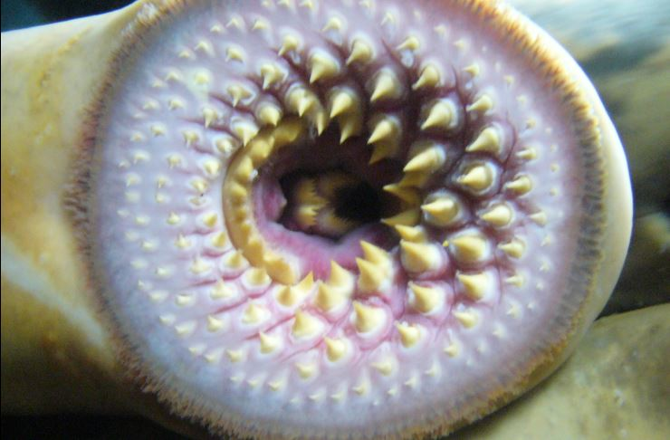 Mouth of a sea lamprey