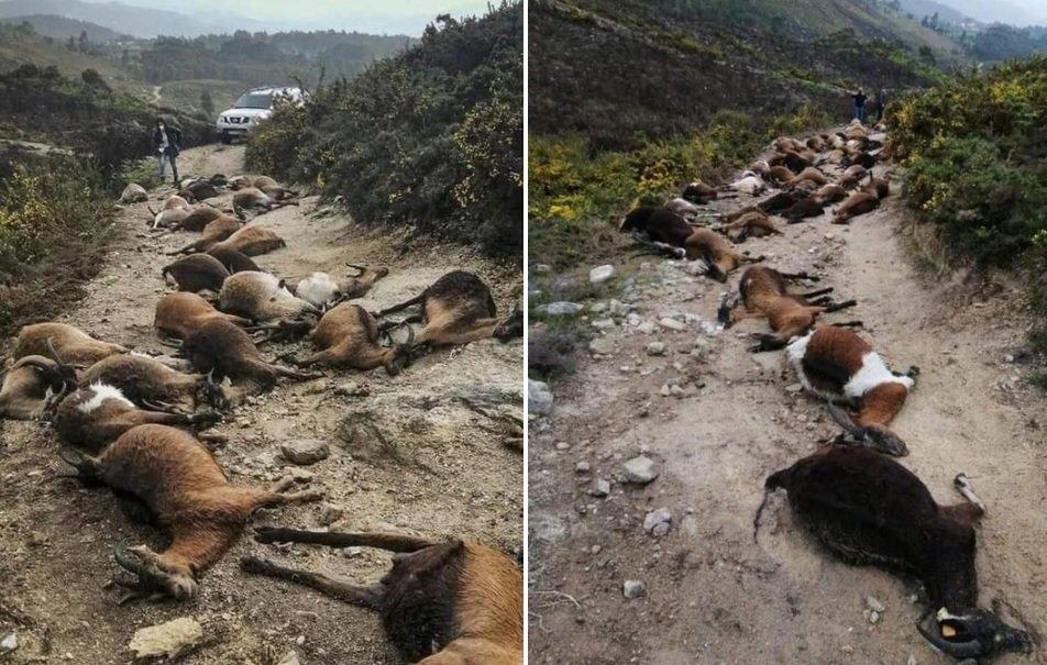 Killed goats